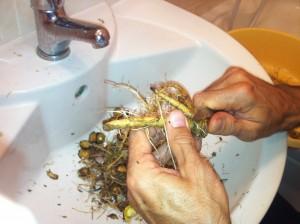 Štětka Soukenická - okrájení kořenů