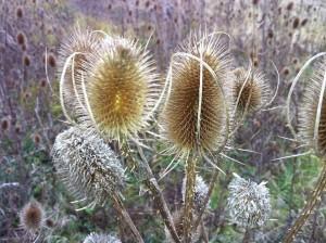 Štětka Soukenická detail rostliny